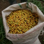 Coffee Cherry Catuai Yellow